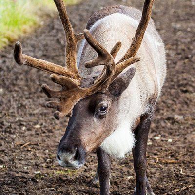 Meet Reindeer Saturdays & Sundays